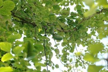 イチョウの木につるが巻き付いてこんな風にアケビの実がなっています。少し高いところですね。