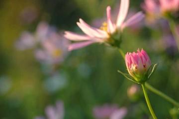 暑い暑いと思って目につかなかったのですが、コスモスが咲いていました。しかも満開です。う〜〜ん油断ならない。