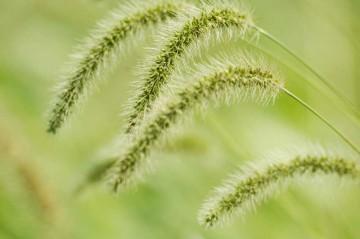 稲穂が実るように、エノコログサの実も頭を垂れています。