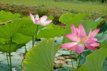 中にはハスやスイレンが植わっている池もあります。