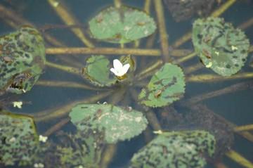 小さく、水路の中央付近で咲いているので、なかなか近寄って撮ることができません。
