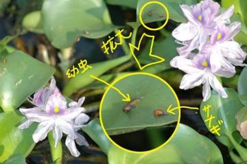 幼虫(芋虫状の黒いもの)とさなぎ(オレンジ色のカタツムリみたいな形)が見えます。うぇ〜〜〜っ