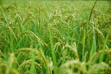8/29日時点ではまだまだ青い新潟の稲です。下の島地区の稲と比べるとかなり違います。ここまで3時間で来てしまうので日本は狭いけど、やっぱり広い!