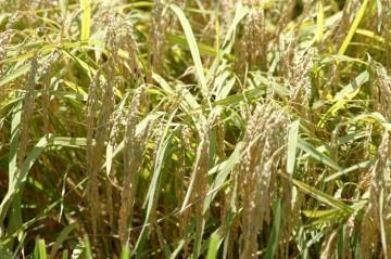 お向かいさんの稲はもうこんなです。