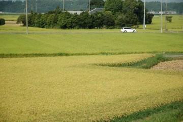 8/25時点での島地区の稲のようす。手前は早稲ですが、奥に見えるのはコシヒカリのはずです。上の写真とは色がずいぶんと違いますね。