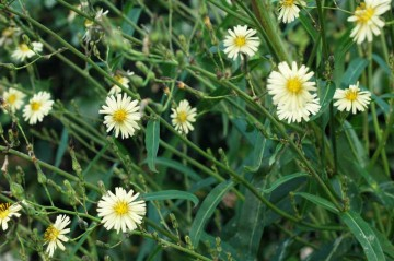 アキノノゲシの花の写真