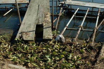 桟橋付近に流れ着いて溜まっています。枯れちゃうのかな?それとも大丈夫なのかな?