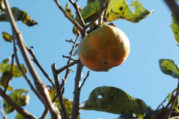 我が家の柿の写真