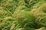 稲が実ってきました