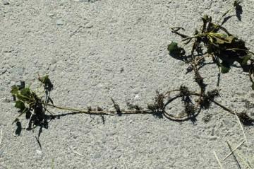 菱の葉っぱ同士はランナーで繋がっているみたいでした。