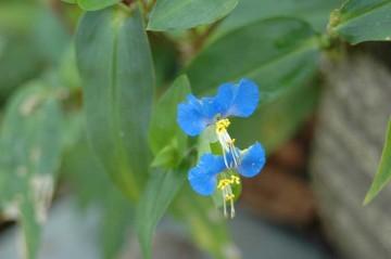 露草の花の写真