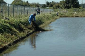 この草は放っておくと排水口や取水口に詰まってしまうらしいので、除草します。といっても大本をたぐって岸に引き上げるだけです。