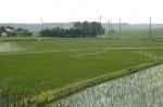 稲の伸びてきた田んぼの写真