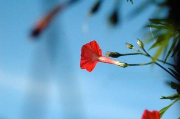 ルコウソウの花