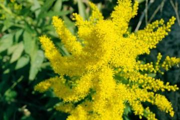 セイタカアワダチソウの花、上から見た写真。