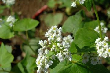 蕎麦の花の写真