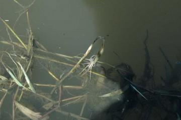 このようにたくさんのスジブトハシリグモが水面に浮かんでいて、人が動くと一斉に水面をピョンピョン飛んで逃げます。