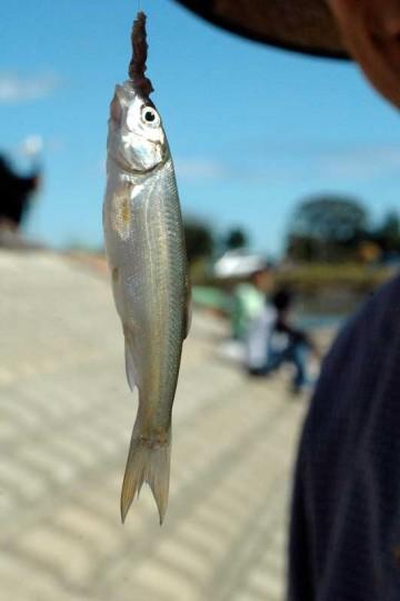 毎年、ハゼ釣りにくる友人たちも、大潮で高潮注意報がでるような水の多い日だったせいか、全くの坊主で釣れたのはウグイばっかりだったそうです。ハゼが全く釣れなかったのは初めてのことでした。もしかしたら夏の暑さが関係しているのかもしれません。