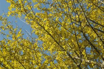 イチョウの黄色
