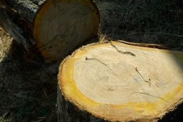 椎の木の丸太