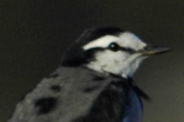 ハクセキレイ。ラインが細く、目の位置ががわかりますが、頭の黒や頬の白で全体としての顔の向きがわかりやすいデザインです。
