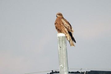 飛んでる姿はすばらしく整っていますが、止まっている姿はボサボサです。小鳥みたいにぴしっとはしていないのですね。
