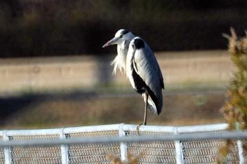 サギの仲間はよく一本足で横木に止まっています。もう一本は羽の下に隠して、暖めておいて、かわりばんこに使うのだそうです。
