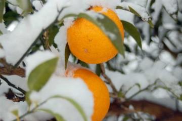 みかんの木にも・・・・白と灰色と黒の世界にオレンジはとっても目立ちます。