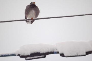 雪の降った寒い朝、ムクムクのムクドリです。じっと朝日の昇るのを待っています。