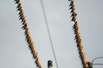 コイツもなかなか近づけない・・・一羽が気がつけば一斉に飛び立ってしまいます。