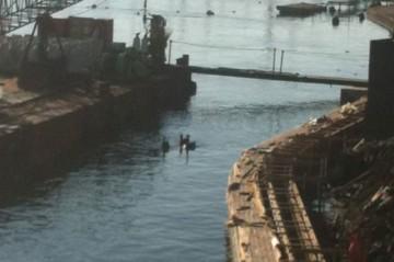 護岸工事の現場を泳ぐ黒鳥。(写真提供ご近所さん)