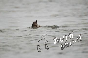 オオバンが川に潜ります