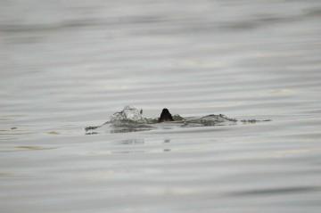 川に潜るオオバン