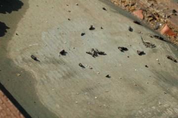 そのすみかにはたくさん糞が落ちていました。自分の糞と一緒に寝ているせいだと思うんですが、コウモリは少し臭いです。(ごねんね悪く言うつもりはないんです。ただそう思っただけ。)