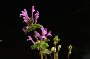 ホトケノザ(仏の座 Lamium amplexicaule L.)