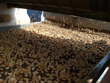 下にしいた土の上に種籾を蒔く