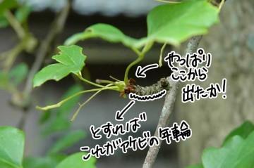 アケビに枝というものはないのでしょうが、芽から葉っぱが出て、それが秋に落ちるとわずか1ミリほどですが、取付部が残ります。その上に芽が吹いて、さらに1ミリほど進む・・・つまり、1年に1ミリほどこの部分が進む勘定。ということは、この写真の枝?は、8〜9年ほど生きているということになります。