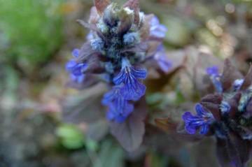 紫色の花をたくさんつけます。