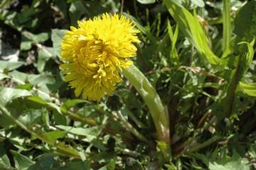 こちらは失敗作。花が3つくらい一度に咲いちゃってます。