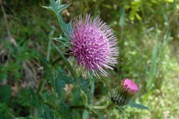 ノアザミの花