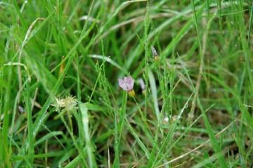 ニワゼキショウの花6月。雨の日はこうやって閉じています。