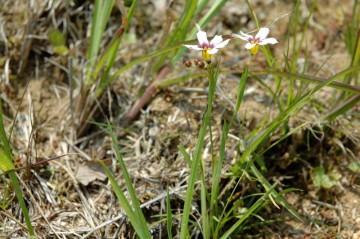 ニワゼキショウには白っぽい花の咲く個体もあるみたいです。別の場所で見つけました。丸い種?がかわいらしいです。