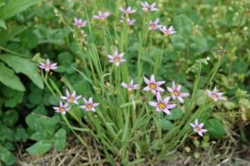 まだまだ見かけます。ピンクの花