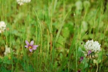 ニワゼキショウの花6月