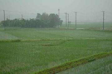 雨に煙る今日の田んぼ。かなり水面は見にくくなっています。