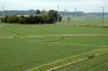 今日の田んぼ。もうほとんど水は見えません。この中に数え切れないくらいのミジンコがいるんだなア。