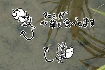 タニシがシャジクモを食べています