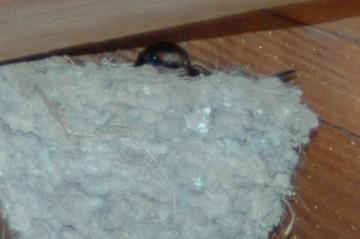 ツバメが卵を温めています