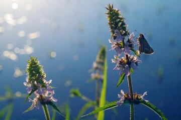 イヌゴマの花とイチモンジセセリ