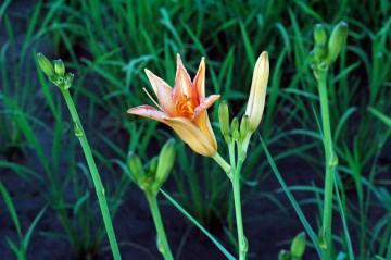 ノカンゾウの花とつぼみ